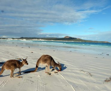 Kangaroos at Lucky Bay